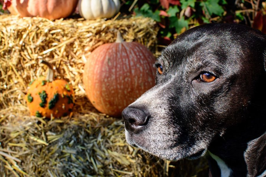 Beautiful thanksgiving dog portrait or Halloween autumn and fall harvest photography closeup of mixed breed Labrador dog with eyes lit up by sun outdoors Pumpkins Decoration Pets Halloween Thanksgiving Animal One Animal Animal Themes Vertebrate Mammal Close-up Day Domestic Animals Focus On Foreground Nature Pets Domestic Dog Animal Body Part Outdoors Animal Head  Sunlight