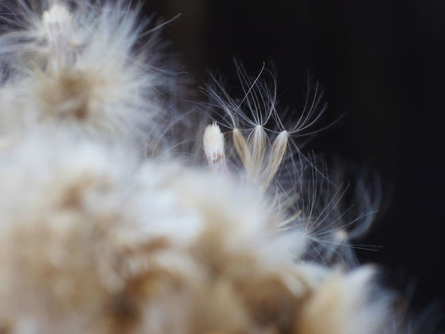 Dandelion Seed EyeEm Nature Lover Growth Plant Plant Part Thistles Black Background Close-up Dandelion Day Flower Flower Head Flowers Nature Naturelovers No People Outdoor Photography Outdoors Selective Focus Softness Thistle Thistle Flower Thistleheads Vulnerability  White Color