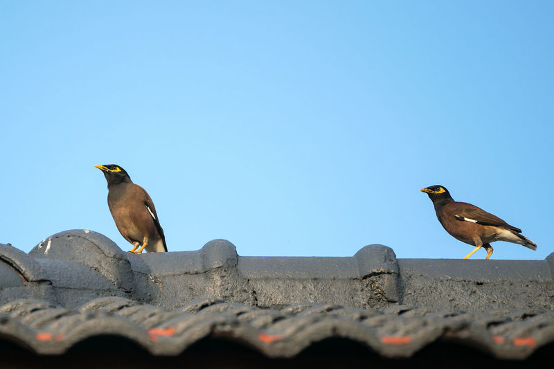 Bird perching on retaining wall against clear blue sky