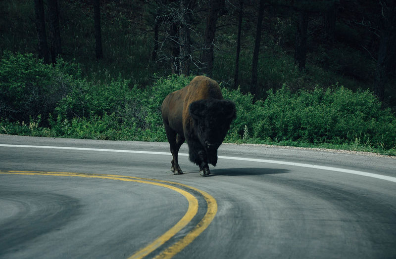 Buffalo on road against trees