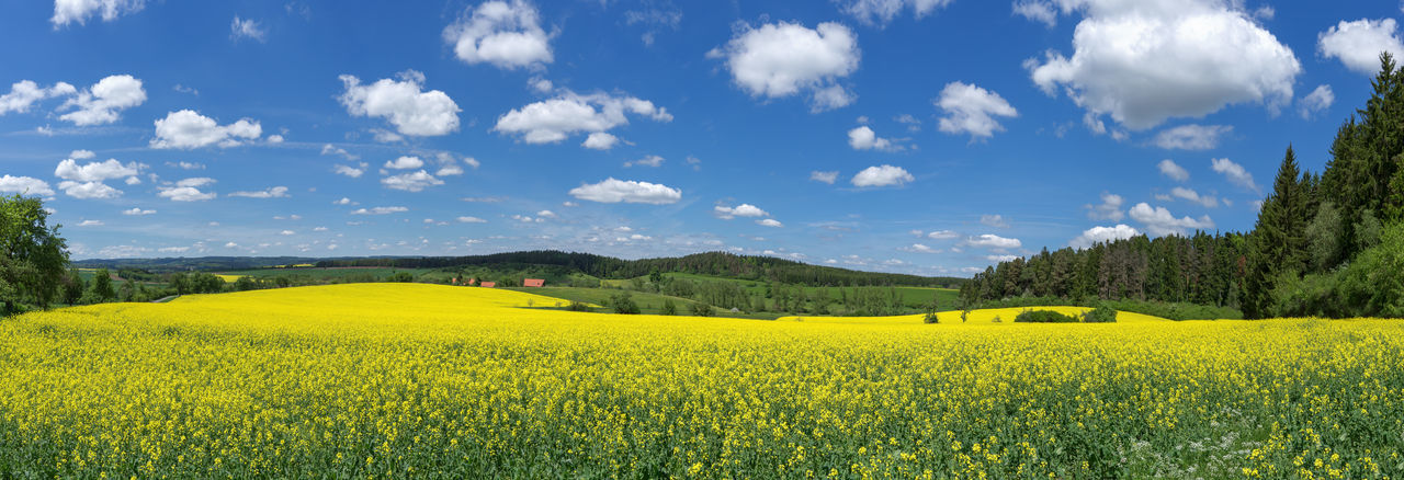 Blooming rapeseed field in picturesque, rural landscape with blue and white sky - panorama Rapeseed Field Canola Field Canola Rapeseed Yellow Blooming Blossoming  Flowering Field Panorama Panoramic Picturesque Scenic Landscape Scenery Beautiful Hilly Nature Plant Bloom Blossom Rural Countryside Agriculture Spring