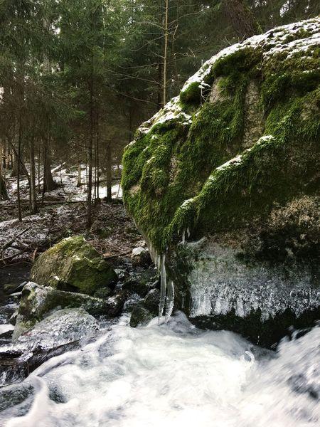 Frozen rapids Forest Nature Tree Moss Stream Water Rapids Ice Frozen Nature Snow