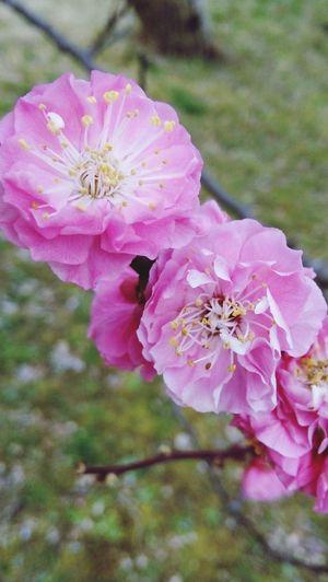 Ume Flowers ... 🌸🌸 Pink Color Flower Flowering Plant Plant Fragility Freshness Close-up Flower Head Beauty In Nature Blossom Springtime Ume Flower Umeblossom Ume Blossom Plum Blossoms Flowers 🌸🌸🌸 Mei Hua Plum Blossom Plum Flower Kyoto, Japan Kyoto Japan 2018