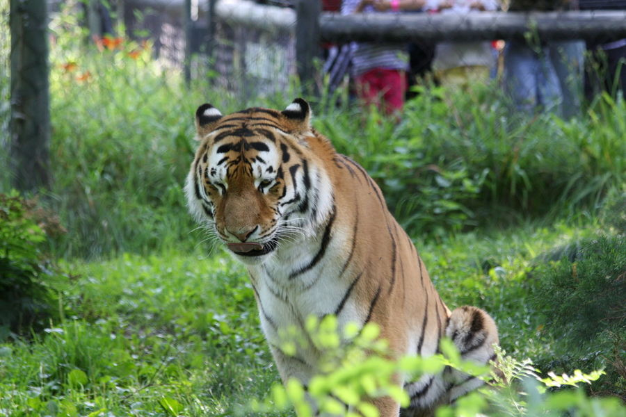 Tiger at Granby zoo Animal Themes Animal Wildlife Animals In The Wild Close-up Day Focus On Foreground Grass Green Background Leaves Mammal Nature No People One Animal Outdoors Plant Sitting Animal Tiger Tiger-love Tigers Zoo Zoo Animal Zoo Animals  Zoophotography