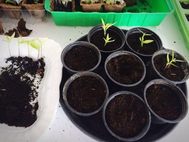Heute auf dem Plan: Pflanzen piekieren! Damit die kleinen auch mal groß und stark werden können! Gardening Balkonien CrazyPoweWG Flowers,Plants & Garden