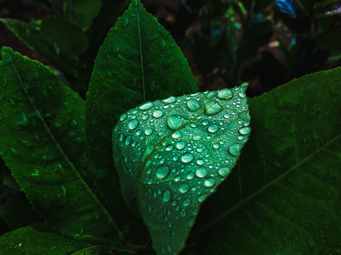 water drop #water spots on the leaves Water Drop Water Drop Rain Natural Morning Outdoor Outdoors EyeEm Phone Photography Eyeem Market Green Background Eyeemphotography Tree Leaf UnderSea Close-up Green Color Plant