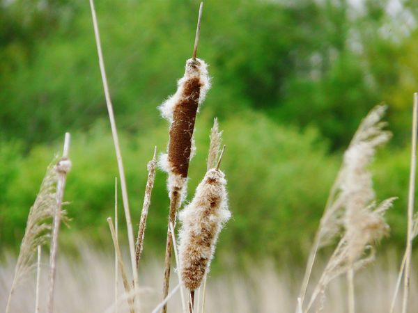 Somerset Levels Uk In All Its Glory Old Peat Workings Now A Nature Reserve Bullrushes Yeah Springtime! Nature Reeds The Great Outdoors With Adobe