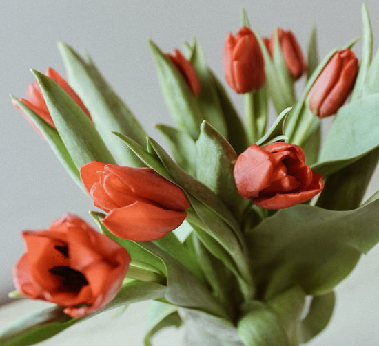 Red tulips Flowers Of EyeEm Flowers,Plants & Garden Flower Power Flowerporn Macro_flower Tulips In The Springtime Macro Nature Red Color Tulips Flowers Bokeh Photography Tulips Tulips🌷 Spring Time Spring Flowers Spring Is Coming  Flowerslovers White Background Tulip Bunch Of Flowers Flower Arrangement Bouquet Plant Life In Bloom