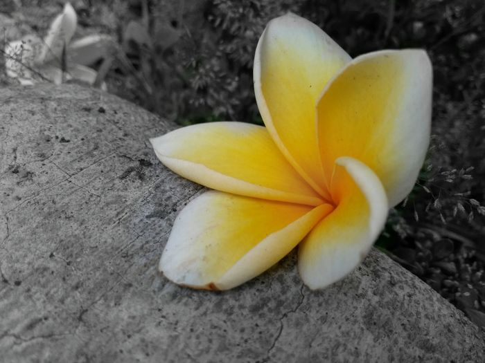 Bw Background Yellow Flower Rock No People Beauty In Nature In Jakarta, Indonesia Frangipani Flower Head Flower Fruit Banana Close-up Growing Petal