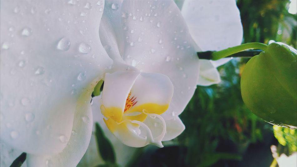 Tucuruvi Orquideas EyeEm Nature Lover Flowers,Plants & Garden