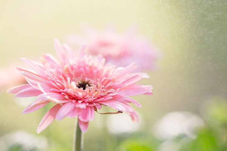Gerbera Daisy Gerbera Gerbera Flower Backgrounds Flowering Plant Flower Pink Color Beauty In Nature Freshness Plant Fragility Vulnerability  Close-up Petal Flower Head Inflorescence Growth No People Focus On Foreground Nature Selective Focus Animal One Animal Pollen Pollination