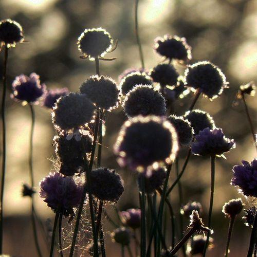 Flowers🌼 Flower Sunset Sun Macro Brokeh Panasoniclumix Panasonic  Nature Naturelovers LovePhoto Photographer Photo Picture Likeforlike Like4like L4l F4F Followforfollow Follow4follow Zdjęciabezlimitu Nolimit Heyah Heyahnolimit @instaheyah