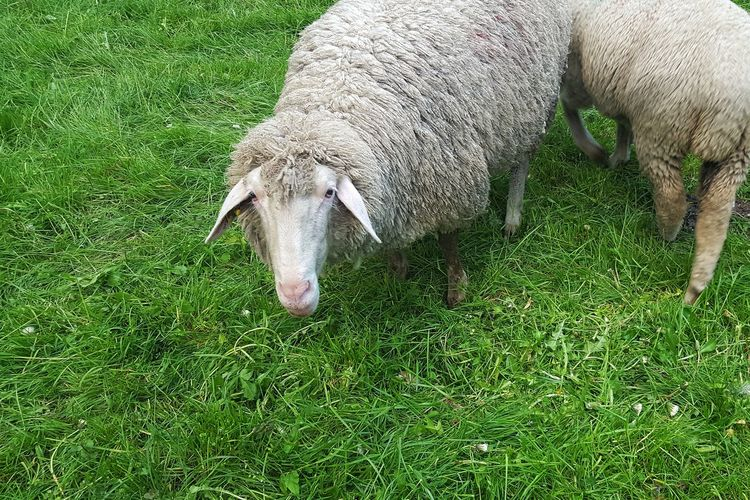 Animal Themes High Angle View Green Color Grass No People Nature Mammal Outdoors Day Sheep Sheep🐑 Sheeps 🐑 Sheeps Domestic Animals Lifestock Looking At Camera EyeEmNewHere Mowing The Lawn Mowing The Grass Mowing