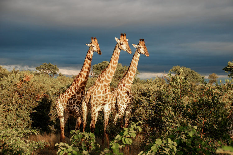 Giraffe Kruger Park Animal Themes Beauty In Nature Cloud - Sky Day Full Length Grass Growth Mammal Nature No People Outdoors Plant Safari Saguaro Cactus Scenics Sky Thunderstorm Tree Trio