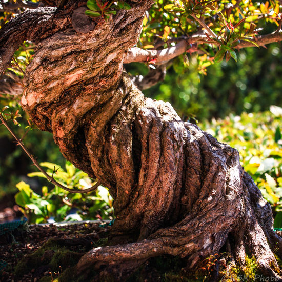 Bark Beauty In Nature Bonsai Bonsai Tree Botanical Gardens Branch If Trees Could Speak Close-up Day EyeEm Gallery Focus On Foreground Gnarled Growth Jardin Botanico Nature No People Outdoors Resist Resistance  Rough Textured  Tree Tree Trunk Twisted TwistedWood