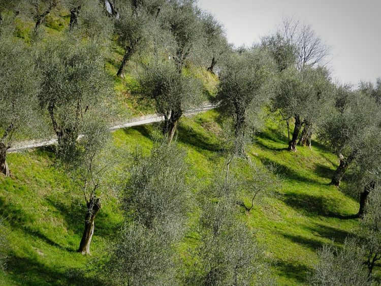 Olive Trees Peaceful Place