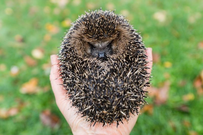 Lucy the Hedgehog Stachelhäuter Igel Hedgehog Focus On Foreground Human Hand Hand Human Body Part Close-up One Person Animal Wildlife Animals In The Wild Nature One Animal Finger Outdoors