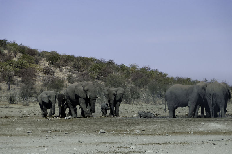 African Elephants Animal Themes Animal Wildlife Animals In The Wild Arid Climate Beauty In Nature Day Drinking Elephant Calf Elephants Herbivores Landscape Large Group Of Animals Mammal Nature No People Outdoors Prey Animal Safari Animals Warthog Young Animal