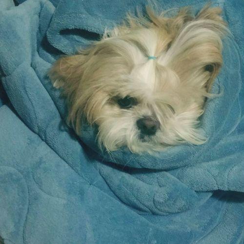 Pets Dog One Animal Domestic Animals Animal Themes Close-up No People Shitzu ShiTzuForever🐶 Wrapped Bed Sheet Petrolina Brazil