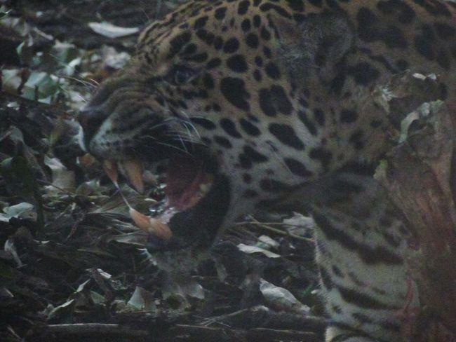 Bigcats Big Cats Wild Cats JAGUAR Jaguars Jaguar Cats Animal Wildlife One Animal Animal Themes Animals In The Wild Mammal Nature Close-up
