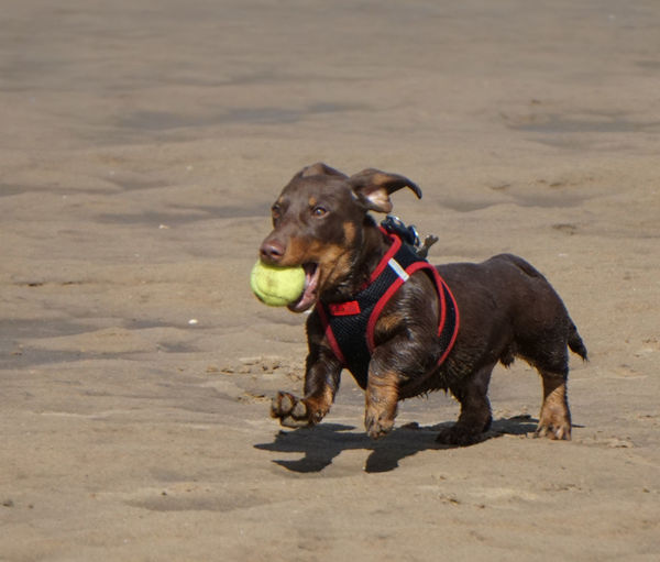 Dog playing with ball on beach