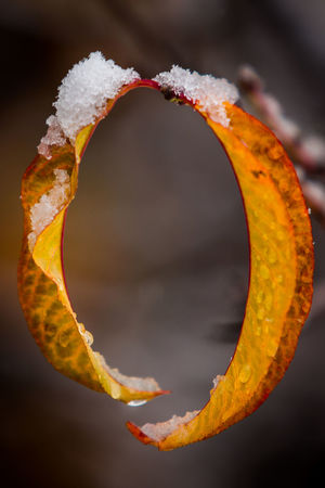 Close-up No People Orange Color Winter Nature Cold Temperature Snow Outdoors Emotion Yellow Day Shape Change Autumn Autumn Leaves Round Shape Round Brackets Two Leaves Peach Tree Peach Leaf 0 Cold Early Winter First Snow Autumn Mood 50 Ways Of Seeing: Gratitude