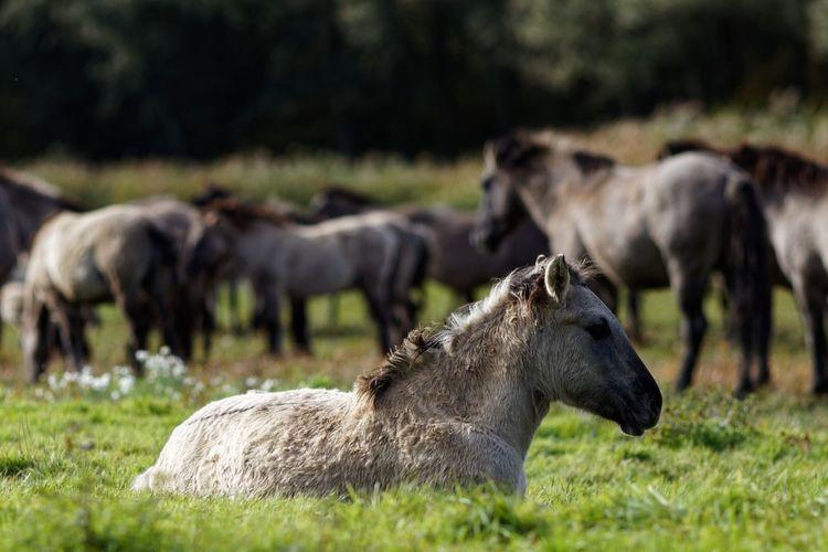 Resting Konik Horses Animal Themes Animal Mammal Group Of Animals Vertebrate Field Animal Wildlife Animals In The Wild Focus On Foreground Nature Horse