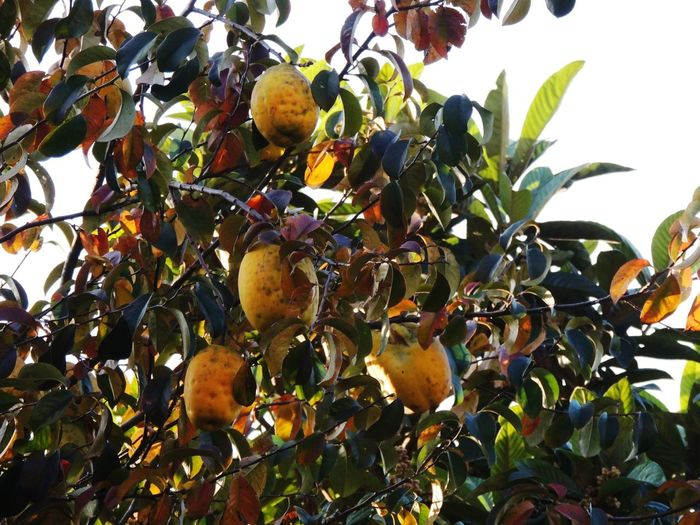 Fruit Growth Tree Leaf Food And Drink Agriculture Food Outdoors Nature Healthy Eating Ripe Day Plant No People Citrus Fruit Freshness Beauty In Nature Close-up Sky Cydonia