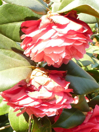 Camellia Camellia Camellia Japonica Beauty In Nature Botany Camellia Flower Camellia Flowers Close-up Day Flower Flower Head Flowering Plant Fragility Freshness Growth Inflorescence Leaf Nature No People Outdoors Petal Pink Color Plant Plant Part Vulnerability