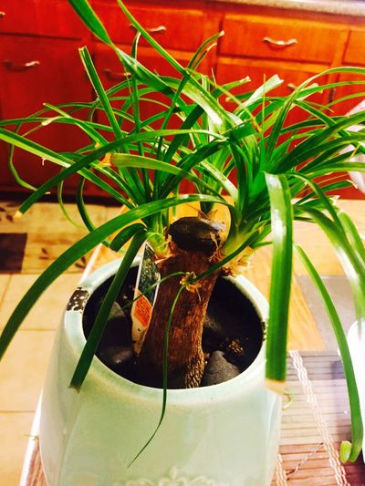 Trying to keep this little one alive. Ponytailtree Bonsi Bonditree Plants Green Leaves