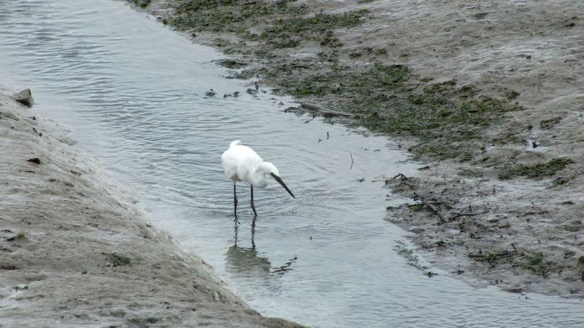 Animal Animal Themes Animal Wildlife Animals In The Wild Beach Beauty In Nature Bird Day Egret Heron High Angle View Lake Nature No People One Animal Vertebrate Water Water Bird