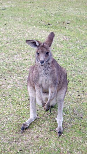 My new friend Kangourou Australia Animals Enjoying Life Kangaroo