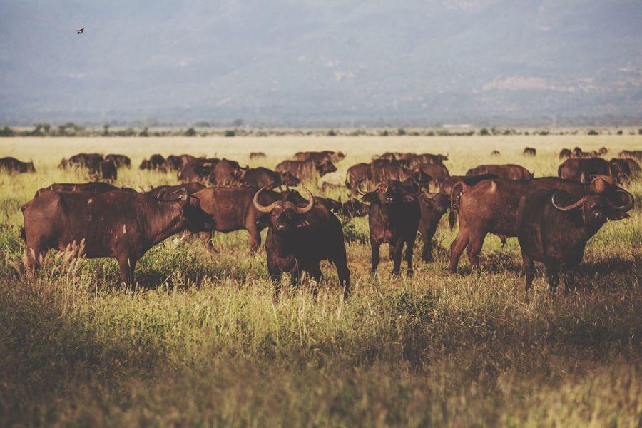 Safaripark Wildanimal Tsavo Buffalo Kenya