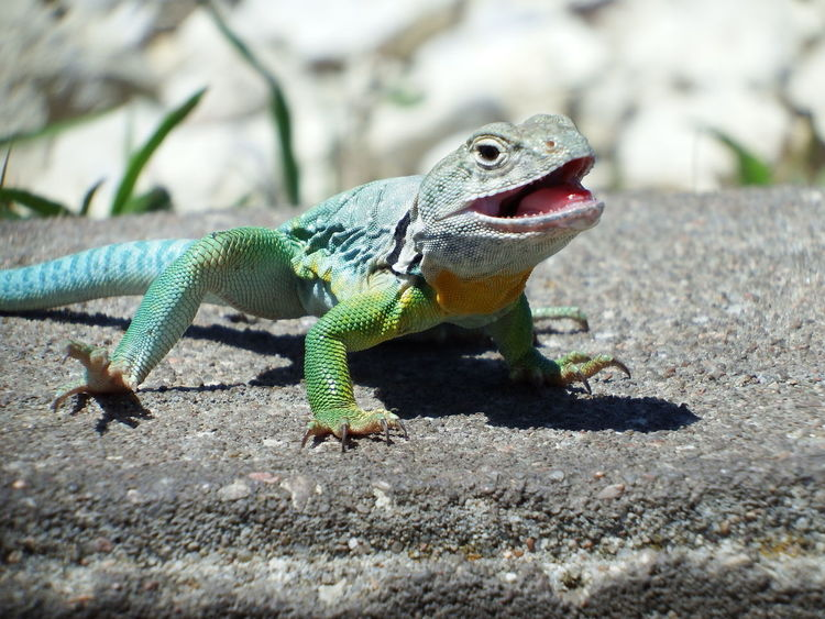 Happy to See You! Animal Themes Animal Wildlife Animals In The Wild Close-up Collared Lizard Day Focus On Foreground Green Color Iguana Lizard Nature No People One Animal Outdoors Reptile