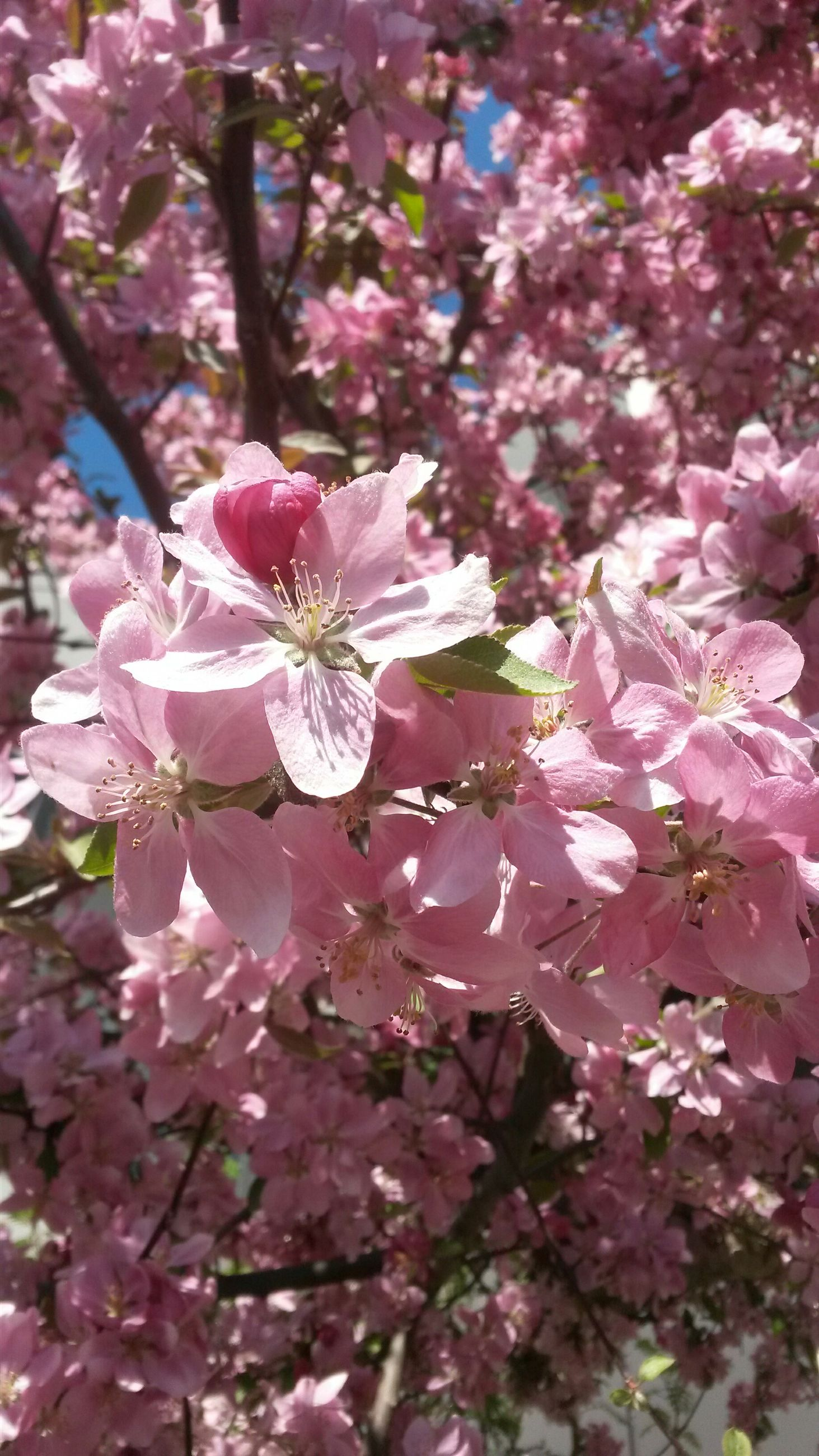flower, freshness, growth, fragility, branch, pink color, beauty in nature, tree, cherry blossom, nature, blossom, petal, in bloom, close-up, blooming, cherry tree, focus on foreground, springtime, pink, low angle view