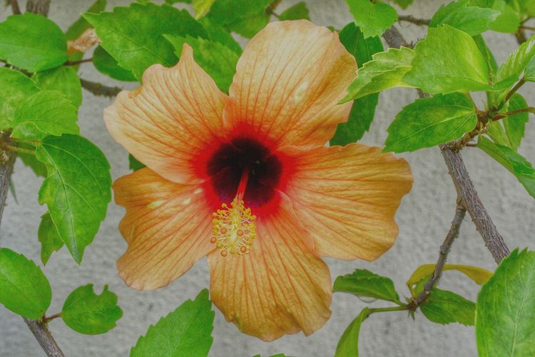 Orange Hibiscus Flower and Green Leaves. Hibiscus Flower Orange Hibiscus Bud Nawfal Johnson Wild Flowers Penang Botany Green Leaves. Flower Nature Plant Flower Head Growth Freshness Petal Green Color Beauty In Nature Close-up Leaf Fragility Day Outdoors No People