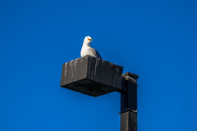 Lachine Lachine Canal Montreal Seagulls Animal Themes Animal Wildlife Animals In The Wild Bird Blue Canada Coast To Coast Clear Sky Copy Space Day Low Angle View Mourning Dove Nature No People One Animal Outdoors Perching Seagull Sky