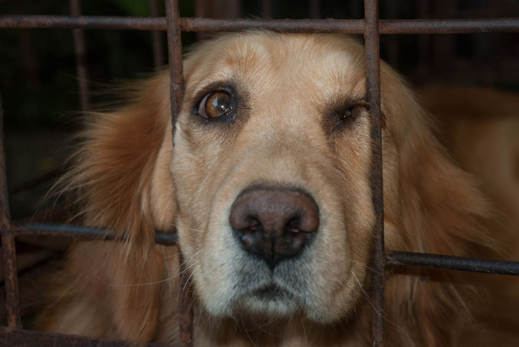 Cage Can Not Move Dog Golden Goldenretriever On Jail Pets Viewing Only