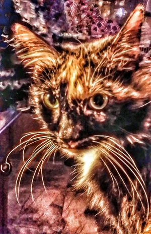 Kali wiyh what are we having to eat Domestic Animals Domestic Cat Pets Mammal Animal Themes One Animal Feline Close-up Whisker No People Indoors  Day Special Effects Calico Cats Are Special Calico Cats