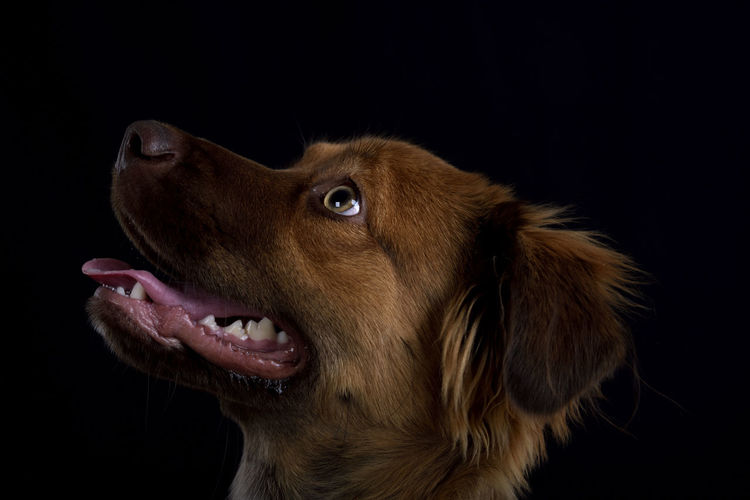 Close-up of dog looking away against black background