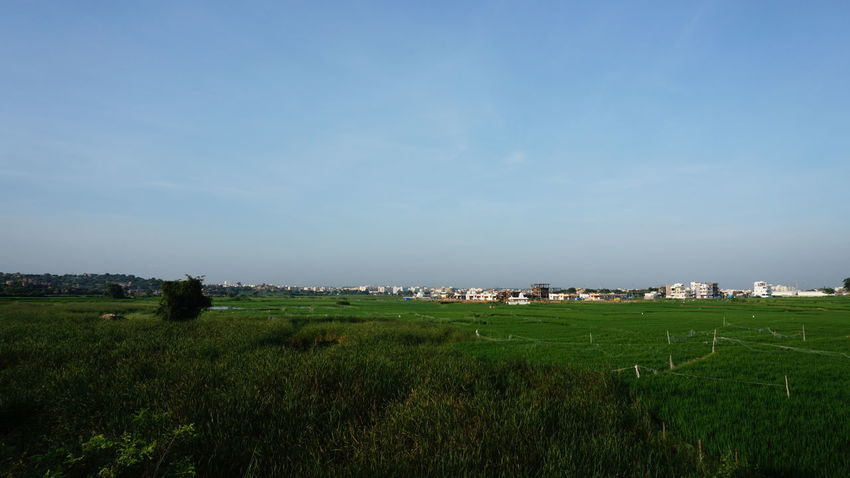 Landscape view of Paddy field against Clear Sky Agriculture Field Rural Scene No People Sky Outdoors Grass Nature Landscape Beauty In Nature Scenics Day Rice Paddy City Nwin Photography Sony A6000 Sony Alpha Photography SonyAlpha6000 Landscape_photography Landscape_Collection EyeEm Landscape Green Color Rural Photography Nature