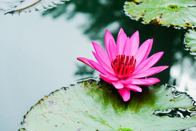 Close-up of pink lotus water lily in lake