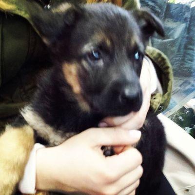 Germanshepperddog Almankurdu Puppy MyGIRL Mischa dog