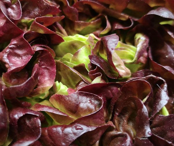 British Lettuce