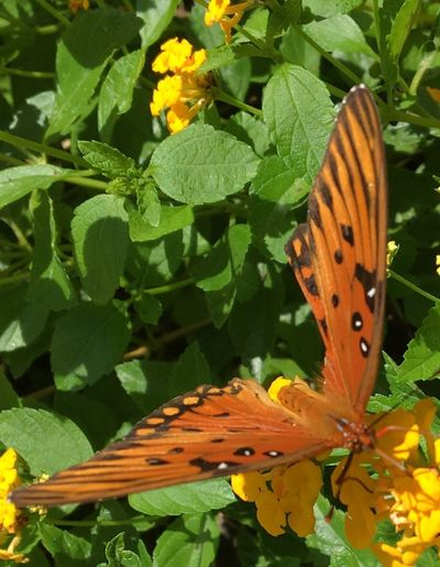 Migrating butterfly Beauty In Nature Butterfly - Insect Nature Hilton Head Island