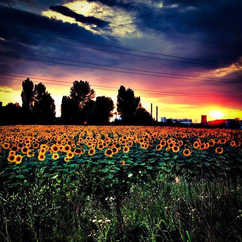Sunset and sunflowers