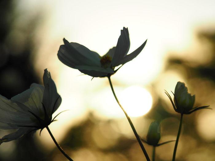 コスモスと夕日🌇 カメラ女子 カメラ 写真好きな人と繋がりたい マクロレンズ カメラ初心者 カメラ修業中 写真すきな人と繋がりたい カメラ好きな人と繋がりたい コスモス カメラ練習 カメラ好き 長居植物園 秋桜 Flower