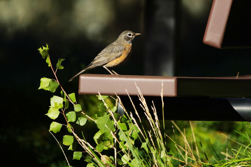 Robin at the park Utah Animal Park Robin Bird Park - Man Made Space Park Bench American Robin One Animal Animal Wildlife Animals In The Wild Animal Themes No People Perching Focus On Foreground Bird Nature
