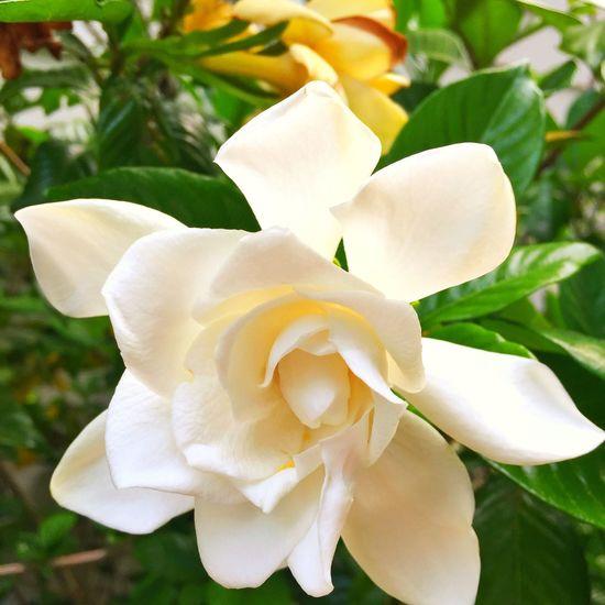 My pretty gardenias
