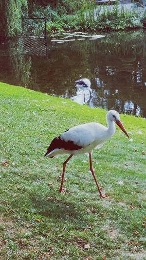 Stork Storks In Cheeseville Storks In The Wild Pretty Birdy Where Do Baby's Come From?